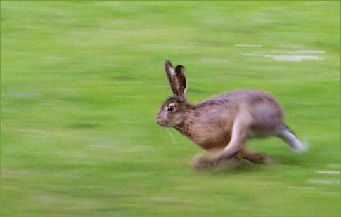 Running_hare (1)